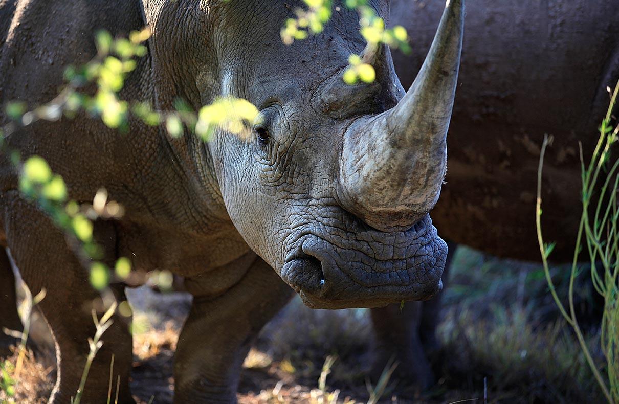 Breitmaulnashorn – Namibia