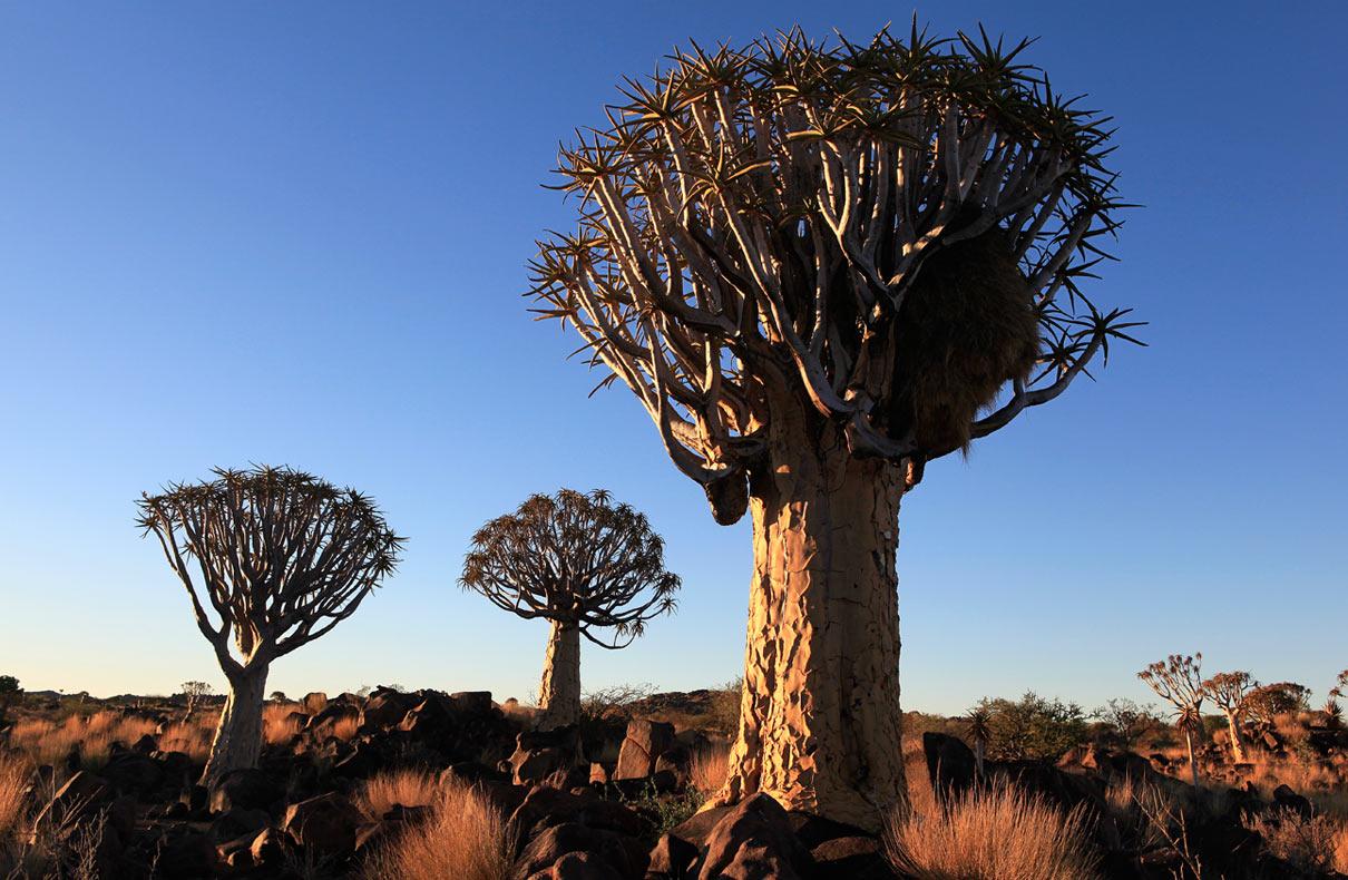 Köcherbäume – Namibia